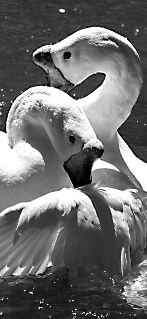 Duckies-bw.jpg
